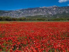 The beautiful poppy fields in Catalunya, Spain
