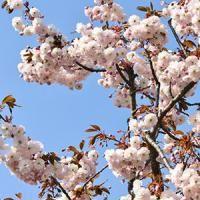 Prunus Serrulata Shirofugen Japanese Flowering Cherry Japanese Flowering Cherry Ornamental Cherry Cherry Blooms