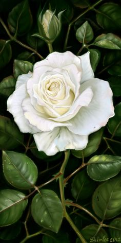 White rose by SatelliteGhost.deviantart.com on @deviantART