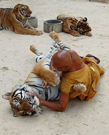 Tiger Sanctuary Temple, Kanchanaburi Thailand - I have been here, now I want to stay to volunteer to help take care of the tigers!