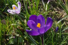 Very early spring Crocus always makes me smile and love life after dreary winterdays.
