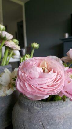 Ranonkel flower pink