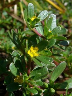 Purslane is considered a weed by many, but is a highly nutritious plant. Learn to recognize it in the field, and grow it at home to get all its benefits.