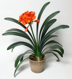 [Visit to Buy] 100 Pcs Gorgeous Flower Seeds (Kaffir Lily ) Semenatsvety Room Flowers Beautiful Rare Real Clivia Miniata orchids home garden Indoor Flowering Plants, Outdoor Plants, Garden Plants, Garden Web, Big Plants, Balcony Garden, Container Plants, Container Gardening, Plants Toxic To Dogs