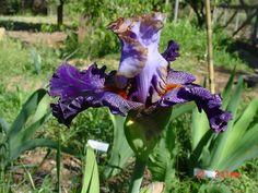 TB Iris 'Bratislavan Prince' (Mego, 2010)
