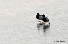 The Torvill and Dean of the duck world out for a wee practice  …well, Dean and Dean if we're being fussy!