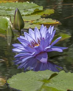 Nymphaea Water Lily by Gerry Gantt Water Flowers, Water Plants, Water Garden, Lotus Azul, Blue Lotus, Amazing Flowers, Beautiful Flowers, Lily Pond, Aquatic Plants
