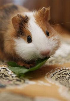 This is so Adorable!  -Guinea Pigs, Cute