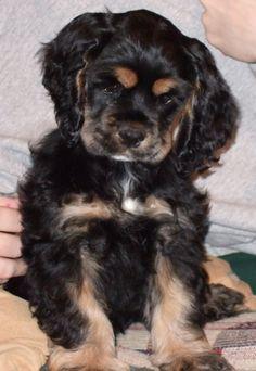 Cocker Spaniel Puppy by llcountrygirl.deviantart.com on @deviantART