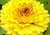 Calendula (marigold). How it is used as a herb in alternative herbal treatments to treat ailments and problems, such as healing broken skin, menstrual problems, cracked nipples and eczema.