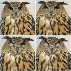 Если долго вглядываться в сову...