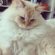 Flame point Ragdoll cat.looks like georgie boy!