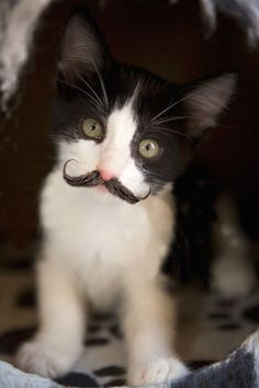 Bah! Kittens with (more) facial hair!! Where's my cat, he's getting one.