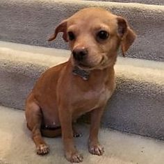 Beavercreek, Ohio - #chihuahua. Meet Joy, a for adoption. https://www.adoptapet.com/pet/21320448-beavercreek-ohio-chihuahua-mix