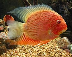 The Golden Severum is one of a slew of varieties derived from the common and popular Severum Cichlid. All Severum Cichlids Heros severus are easily recognized and popular with both beginner and advanced aquarists. Severum Cichlids tend to resemble their larger cousins, the Discus cichlids, in body shape and feature a laterally compressed oval shaped …