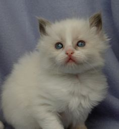 Blue bicolor ragdoll kitten
