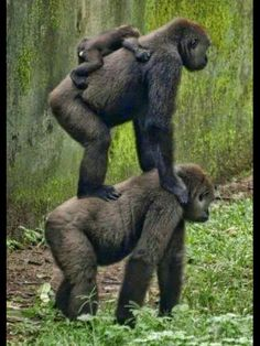 Lets make a gorilla pyramid Nature Animals, Animals And Pets, Baby Animals, Funny Animals, Cute Animals, Strange Animals, Beautiful Creatures, Animals Beautiful, Animal Antics