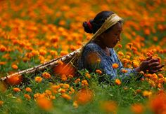 Women pick marigold flowers used to make garlands and offer prayers, before selling them to the market for the Tihar festival, also called Diwali, in Kathmandu, Nepal, on October 17, 2017. (Navesh Chitrakar/Reuters)
