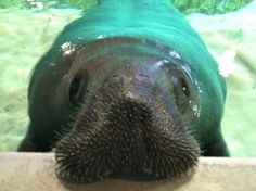 Come see Snooty, the world's oldest manatee at the South Florida Museum!