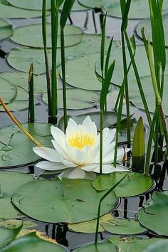 Lotus with Reeds Water Flowers, Water Plants, Water Garden, Lotus Flowers, Garden Pond, Carpe Koi, Pond Life, Lily Pond, Aquatic Plants