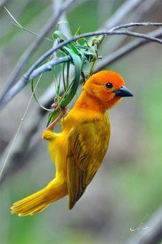 A Beautiful Little Weaver Bird Working on A Nest