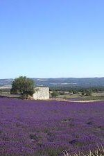 Lavender fields, Ceze Valley, France