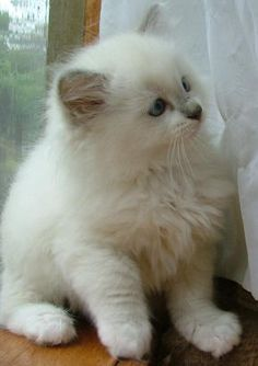 Ragdoll Kitten! Ahhhh...so cute my brain turned to mush