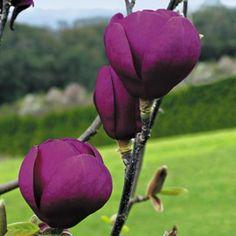 Magnolia greffé 'Black Tulip'®