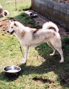 Greenland Dog, love the back markings
