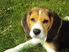 Beagle Puppies Best Food For Breeding
