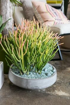 succulent-firesticks. Looks good in this low-sided pot.