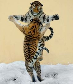 These two Siberian tigers are caught dancing in the snow at Vienna's Tiergarten Schoenbrunn zoo. Photographer Jutta Kirchner