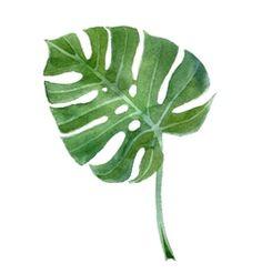 watercolor monstera leaf vector