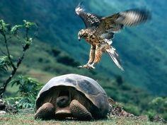 El alcon y la tortuga