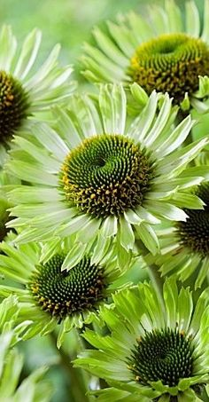 Echinacea Beautiful Chrysanthemum Bonsai Rare Flower For Home Garden Potted Plant Semillas De Margaritas Green Flowers, Pretty Flowers, Amazing Flowers, Dream Garden, Shades Of Green, Trees To Plant, Garden Inspiration, Garden Plants, Potted Plants