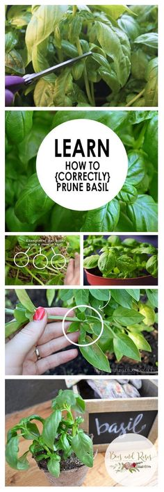 Interested in pruning your basil plants? Here's how. >>> You can get additional details at the image link. #OrganicGardening