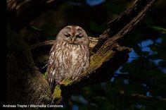 """Agenda d'Ornithomedia : 3ème colloque d'ornithologie de Loctudy (Finistère) le 13/09 - La troisième édition du colloque international de Loctudy se tiendra le 13 septembre : elle sera précédée par une semaine de sorties et d'animations.  La Bernache cravant et la Chouette hulotte (photo : Andreas Trepte / Wikimedia Commons) seront les """"vedettes"""" de l'édition 2014. #ornithologie #oiseaux #nature"""