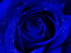 Blue and beautiful rose