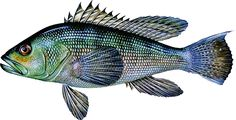Image from http://www.ct.gov/deep/lib/deep/fishing/saltwater/2007guidetransseabass.jpg.