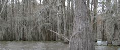 All about swamp cypress trees.