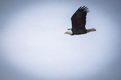Bald Eagle flying above the Courtenay River Estuary Vancouver Island, British Columbia, Bald Eagle, Canada, River, Fall, Animals, Autumn, Animales