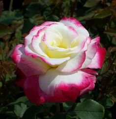 beautiful hybrid tea roses -- multicolor perfume flower
