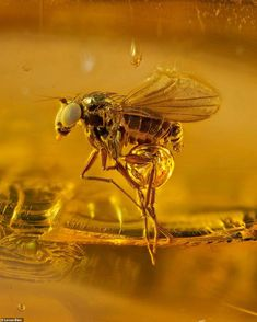 Stunning detail of ancient insects preserved in amber 45 million years ago revealed in images from world-renowned British photographer Levon Bliss Pictures Of Insects, Amber Fossils, Extinct Animals, Prehistoric Creatures, World Images, All Nature, Beautiful Images, Mammals, Cute Animals
