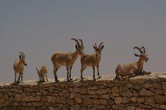 Ibex herd overlooking the grand Makhtesh Ramon, Negev Desert, Israel