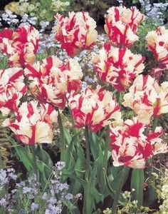 Tulip Estella Rijnveld 12-up cm. 600 bulb case package