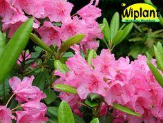 Rhododendron tigerstedtii-gruppen 'Haaga', rhododendron. Höjd: 1,8 m. Zon V.