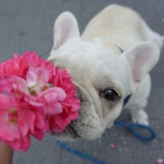 www.frenchbulldogbreed.net