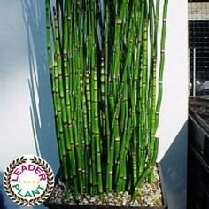 Horsetail / Japanese horsetail - How to plant Japanese Horsetail? - Horsetail / Japanese horsetail – How to plant Japanese Horsetail? Japanese Horsetail has the Lea - Water Plants Indoor, Potted Plants, Garden Plants, Garden Care, Garden Pool, Garden Dividers, Snake In The Grass, Zen Garden Design, Comment Planter