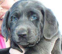 Look at this adorable silver lab! I want one!  silvervalleykennels.com