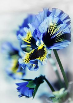 Ruffle edge Pansies, come in many colours. This blue is just lovely. Wonderful in the garden bed or in pots to bring cheer to Spring. Feed them up and they will flower for many months.